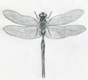 Why the Dragonfly? - Reflections on the Symbolism - Dragonfly